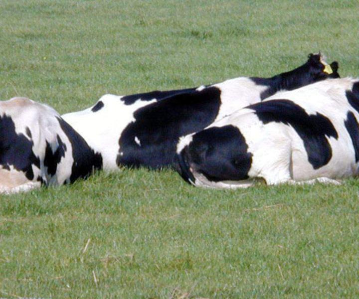 (E a relação entre vacas em pé e a série de derrotas)